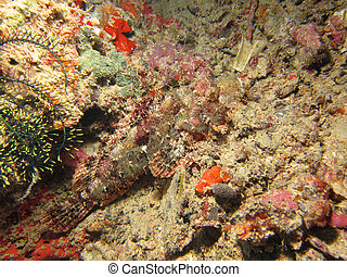 Raggy Scorpionfish camouflaged against hard coral