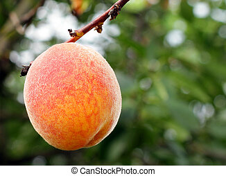 Fresh and ripe peach on a branch