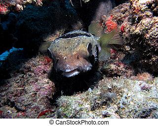 Black-Blotched Porcupinefish - Black-Blotched / Short-Spined...