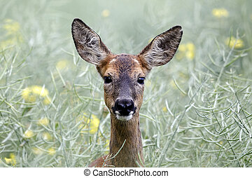 Roe deer, Capreolus capreolus, single female head shot,...
