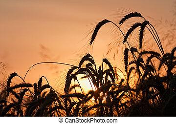 Wheat field on summer sunset