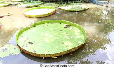 Big lotus leafs in pool on summer