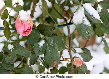 Frozen rose - Red rose bud covered with snow