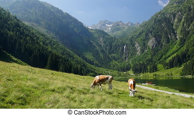 Cows in Austrian Alps - Common view