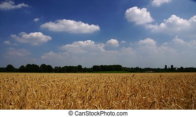 Rye field - Panoramic time-lapse