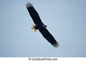 Bald eagle in flight - A white-tailed eagle with its wings...
