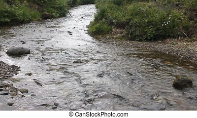 Humpback salmon on spawning - The humpback salmon congested...