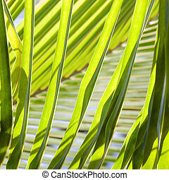 Palm fronds. - Close up of palm fronds.