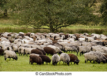 Luneburg Heath - Sheep in Luneburg Heath in Germany