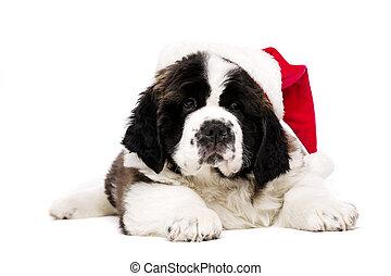Christmas St Bernard puppy on white - St Bernard puppy...