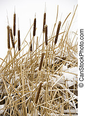 Cattail plants in snow.