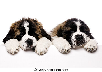 St Bernard puppies looking over a blank sign isolated on a...