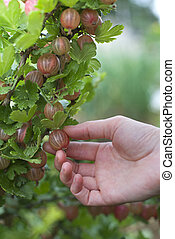Gooseberries - Woman picking fresh gooseberries on the...