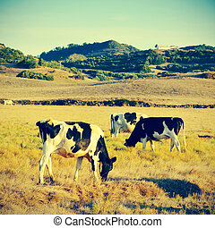 cows grazing - picture of some cows grazing in Menorca,...