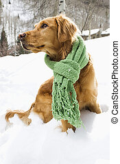 Dog in snow - Side view of Golden Retriever sitting in snow...