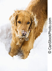Dog in snow. - Golden Retriever with snowy snout and ears...