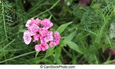 sweet william carnation - single sweet blossom with a flora...