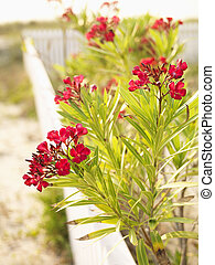 Red Oleander bush. - Flowering oleander bush at beach behind...