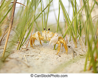 Ghost crab on beach. - Close up of ghost crab on beach.