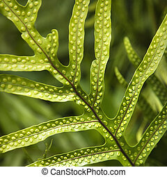 Fern leaf. - Close up of fern leaf with bumpy immature...