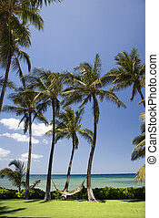 Hammock on palm trees. - Palm trees with hammock by Pacific...