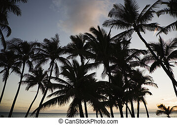 Palm trees by ocean. - Palm trees silhouetted against sky.