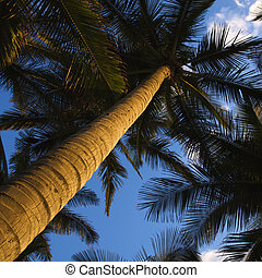 Low angle palm tree - Low angle view of palm tree