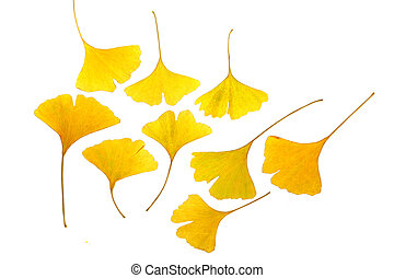 leaf of ginkgo (Ginkgo biloba) isolated on white