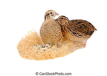 quail  - adult quail isolated on white background