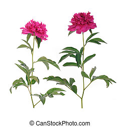 Pink peony flower - Two Pink peony flower isolated on white...