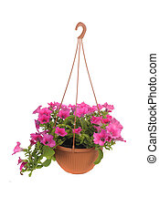 Pink flowering petunia in pot isolated on white background