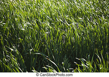 Cattails and grasses. - Field of tall grasses and cattails.