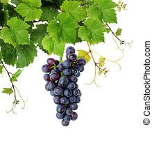 Blue grape and grapevine - Fresh grapevine, isolated on...