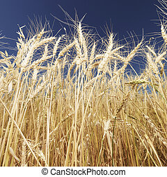 Wheat and blue sky - Worms eye view of golden wheat field...