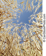Wheat in blue sky. - Worms eye view of golden wheat field...