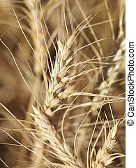 Close up of wheat. - Close up view of wheat ready for...