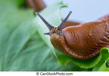 snail with lettuce leaf - a slug in the garden eating a...
