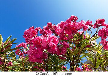 Beautiful bush pink flowers with blue sky background