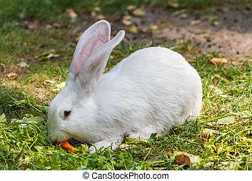 White rabbit enjoying its carrot