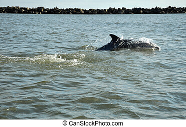 Jumping and swimming dolphins in the Danube delta, Black sea...