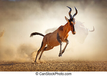 Red hartebeest running in dust - Alcelaphus caama - Kalahari...