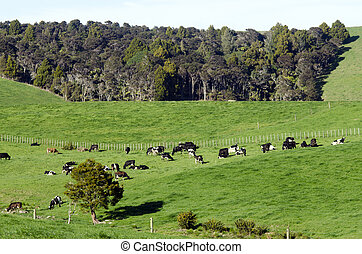 Dairy Farm - WELLSFORD, NZ - JULY 28:Dairy cows in a dairy...