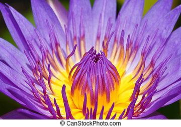 púrpura, loto