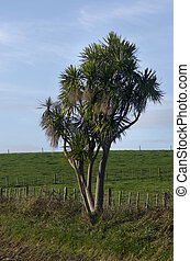 Cordyline australis Tree - Cabbage tree, is a widely...