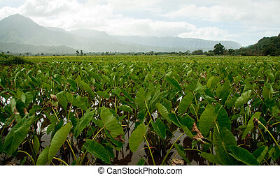 Taro plants in Hanalei valley - Close-up of Taro leaves in...
