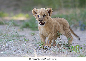 Little lion cub shows his teeth with a roar - Photo...