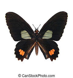 Red-spotted Swallowtail - 3D digital render of a...