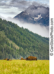 Buffalo Grazing in the Tetons - Wild bison herd in the...