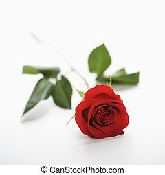 Red rose on white - Single long-stemmed red rose against...