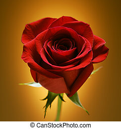 Red rose on gold - Single long-stemmed red rose against...